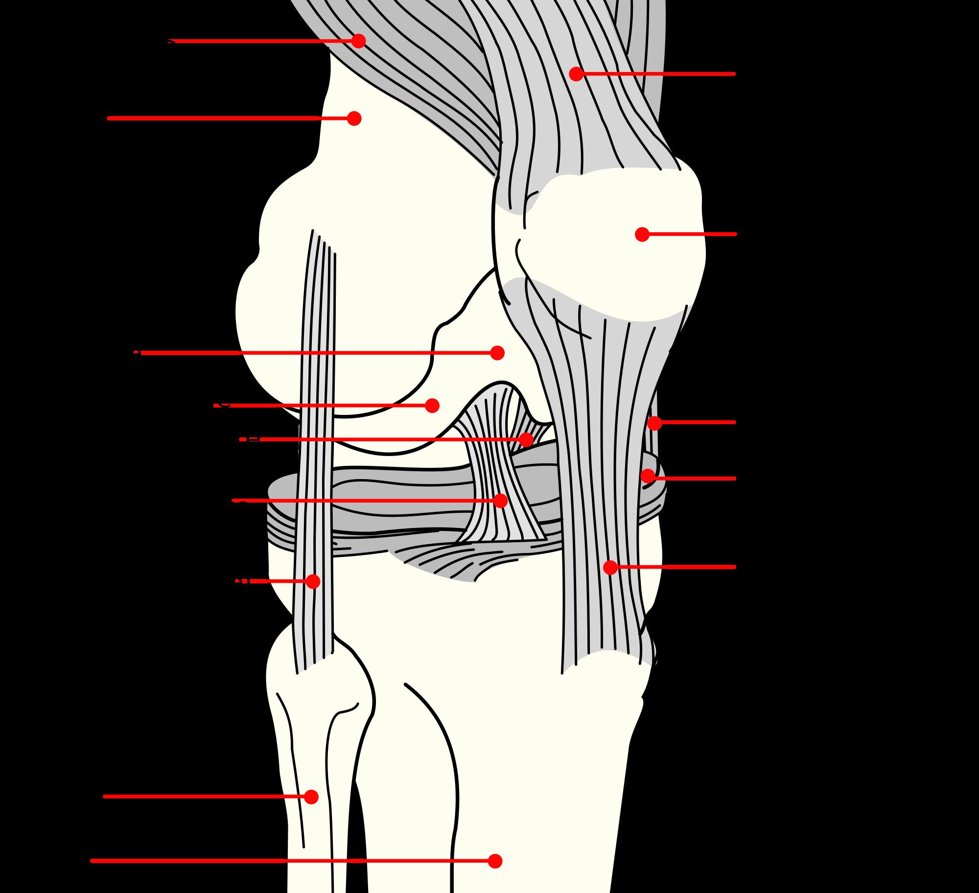 Il ginocchio come riconoscere e combattere patologie for Esterno quadricipite