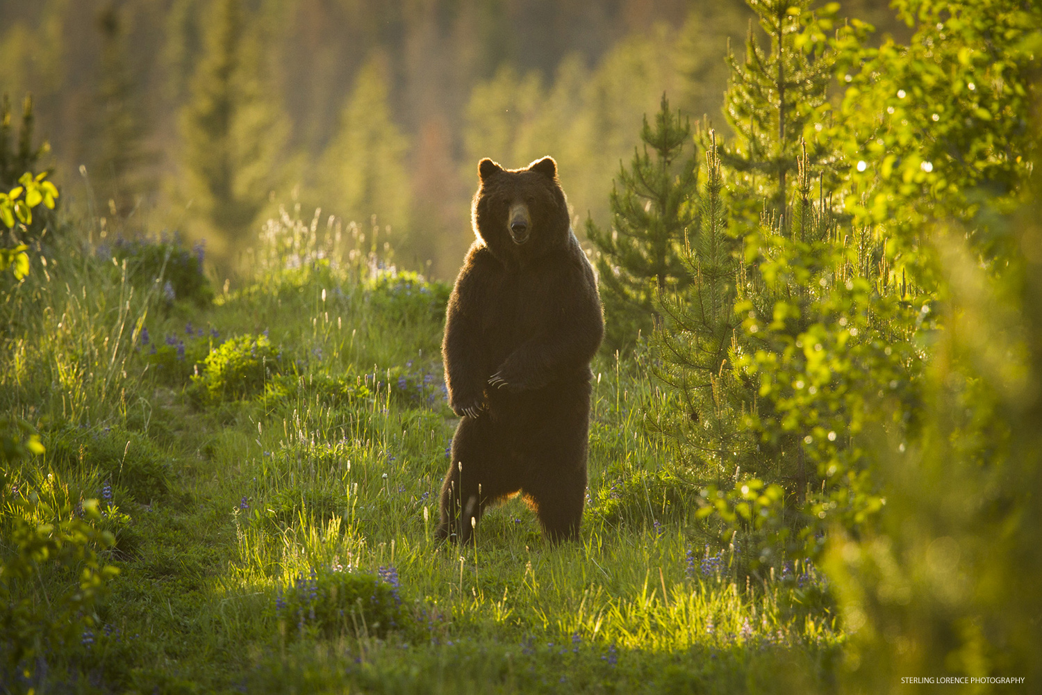 Grizzly Bear in Bralorne, British Columbia, Canada